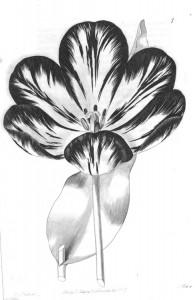 Polyphemus Sweet's Florist's Guide